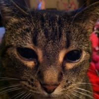 A close up of a brown striped cat