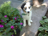 A white and grey Australian Shepherd puppy