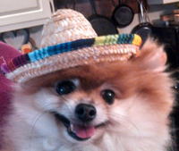 A tan and white Pomeranian with a sombrero on