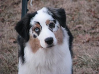 A white, tan and black Australian Shepherd