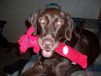 A Chocolate Labrador with a pink stuffed toy in his mouth