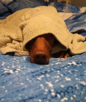 A tan dog hiding under blankets