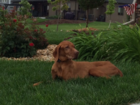 A tan dog laying in the grass