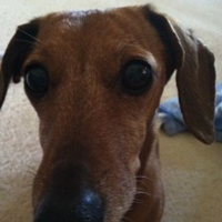 A close up of a small brown dachshund